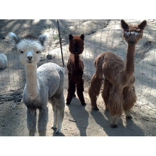 retiredice alpacas